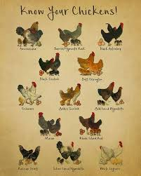 Different Types Of Chickens Chart Chicken Breeds Chart Print Vintage Poultry Print Chicken