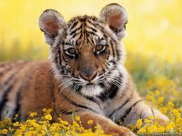 cute baby tiger wallpaper. Contemporary Baby Baby Tiger To Cute Wallpaper