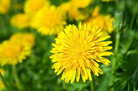 Eat Your Weeds: 7 Ways to Eat Dandelions – LearningHerbs