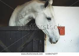 white horse face side. Beautiful Face Beautiful White Horse Side Portrait Photograph Inside A Dark Black Barn  1158474277 In White Horse Face Side