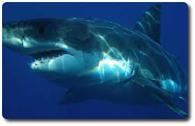 Information About Sharks And Their Anatomy Secrets Shark Sider
