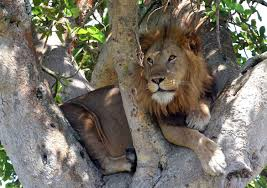 tree climbing lions of uganda roaming farther as prey animals decrease famous tree climbing lions of uganda roaming farther as prey animals decrease