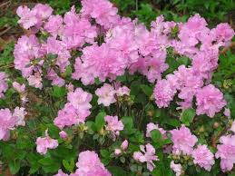 Deciduous Shrub With Oddshaped Pink FlowersShrub With Pink Flowers