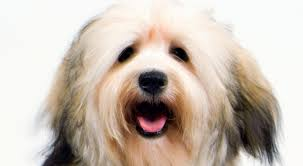 Small Picture Havanese Dog Breed Information American Kennel Club