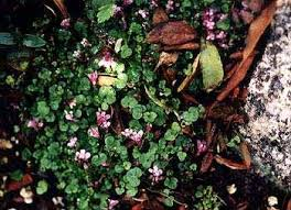 Paghat's Garden: Cymbalaria aequitriloba