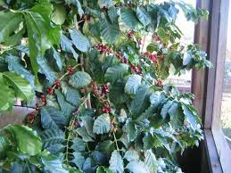 Although it's unlikely this plant will produce berries inside, its attractive shiny green foliage will liven up any interior space. Coffee Plant Care Growing Coffee Plants Indoors Dummer Garden Manage Gfinger Is The Best Garden Manage App