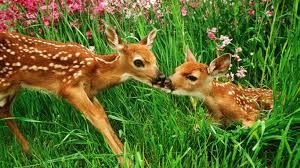 baby deer wallpaper hd free