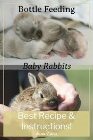 How To Bottle Feed Orphaned Baby Rabbits With Formula Recipe
