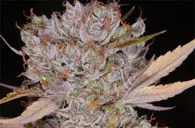 Bob Saget aka The Bob Marijuana Strain Information | Leafly