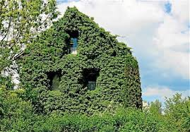Homeowners should be allowed to let ivy climb up the walls of their house