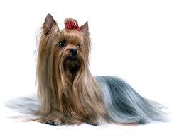 silky dog. australian-silky-terrier-dog-wallpaper silky dog