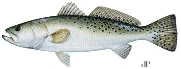Spotted Seatrout Or Speckled Trout Mississippi Saltwater