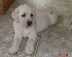 yellow lab puppies for sale. Contemporary Yellow AKC English Labrador Puppys For Sale  Located In Allegan MI We May Have  Your Next Lab Puppy  In Allegan MI Close To Plainwell Otsego  To Yellow Puppies For Sale