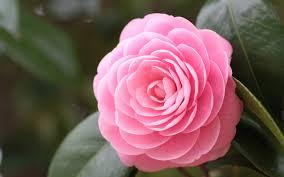 Camellia hd #7006325