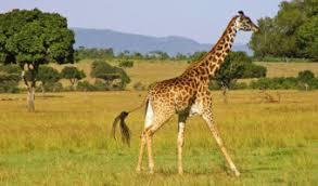 picture of a giraffe. Brilliant Picture Giraffe In Picture Of A E