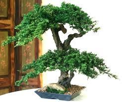office bonsai. Simple Office Desk  On Office Bonsai