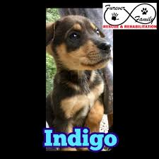 Manitoba Designer Breed Merrickville On Mixed Breed Medium Meet Indigo A Pet