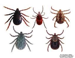 What Common Ticks look like
