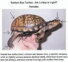 Box Turtle Gender Turtle Habitat Eastern Box Turtle