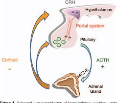 The Hypothalamic Pituitary Adrenal Axis And Anesthetics A Review