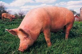 Картинки по запросу свинья