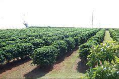 Kona coffee is simply arabica coffee that is grown, harvested and processed in the kona region; 54 Hawaiian Coffee Ideas Hawaiian Coffee Coffee Freak Kona Coffee