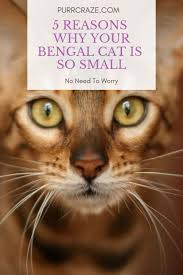 5 Reasons Why Your Bengal Cat Is So Small Purr Craze