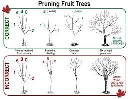 Donu0027t Be Afraid To Heavily Prune Your Fruit Trees   North Prune Fruit Tree