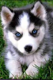 baby husky with blue eyes cute. Beautiful Cute Blue Eyed Husky Husky Mignon Cute Dogs Fun Dog Pomeranian Puppies On Baby With Eyes D