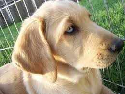 yellow lab with blue eyes. Wonderful Eyes Blue Eyed Labrador Retreiver By Kittysushiideviantartcom On DeviantART  White Lab Puppies Intended Yellow With Eyes E