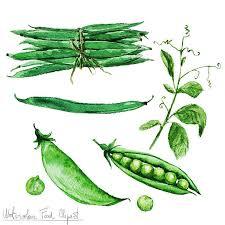 green beans clip art. Modren Art Watercolor Food Clipart  Green Beans And Peas Vector Art Illustration Throughout Clip Art