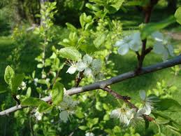 76 Best Anacardiaceae Images On Pinterest  Flora Plum And ForestsPlum Tree Not Producing Fruit