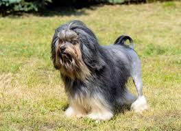 Löwchen (<b>Little Lion Dog</b>): Dog Breed Profile