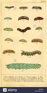 Vintage Art Chart Of Various Caterpillar Species Stock Photo