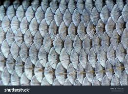stock photo real roach fish scales background 140172256