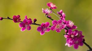 Image result for hoa xuân