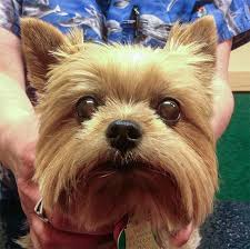 this 7 year old yorkshire terrier has pra the typical age that these dogs are