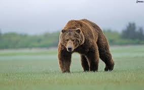 Resultado de imagen de oso pardo