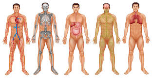 Body Systems Stock Illustration Illustration Of Diagram