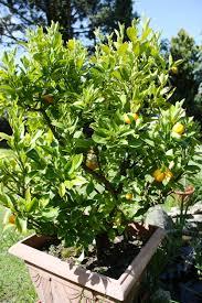 138 Best Kumquat Tree In Container Images On Pinterest  Kumquat Kumquat Tree Not Bearing Fruit