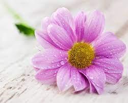 pink flower-HD widescreen wallpaper ...
