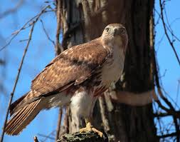 Red Tailed Hawk Wikipedia