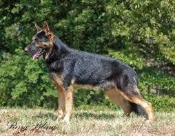 melanistic black and tan german shepherd. BLACK AND TAN Inside Melanistic Black And Tan German Shepherd