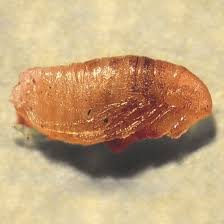 Image result for flea pupae