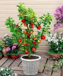 how to grow apple trees in pots plant