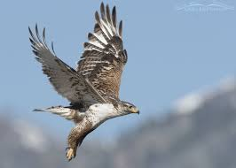 hawk without feathers. Brilliant Feathers Ferruginous Hawk Showing Its Feathered Legs Tarsi In Without Feathers A