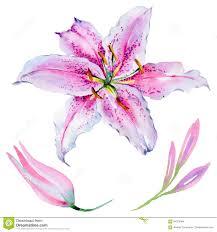 изолированный цветок лилии Wildflower в стиле акварели иллюстрация