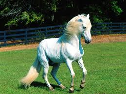 beautiful baby horses wallpaper. Simple Horses White Horse Wallpaper  IBackgroundWallpaper Throughout Beautiful Baby Horses T