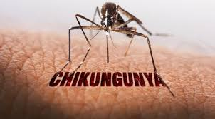 Resultado de imagem para mosquito do chikungunya