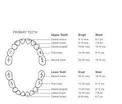 Teeth Eruption Charts Gina Liggio Maestri Dds Family